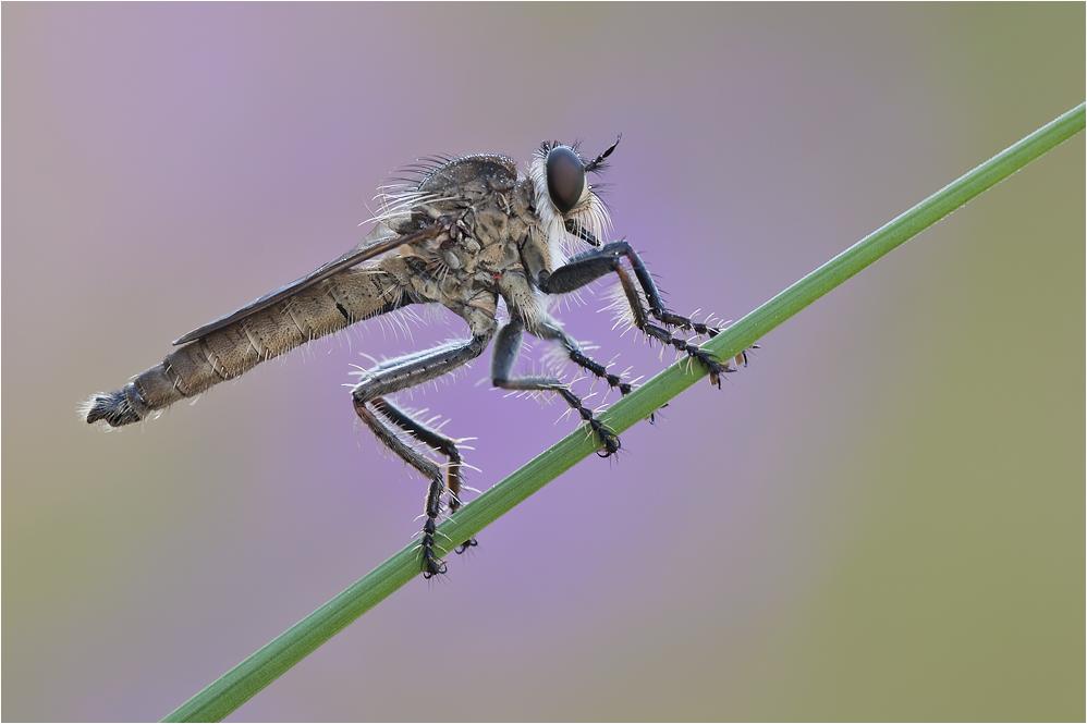 Seiden-Raubfliege ( Machimus arthriticus)