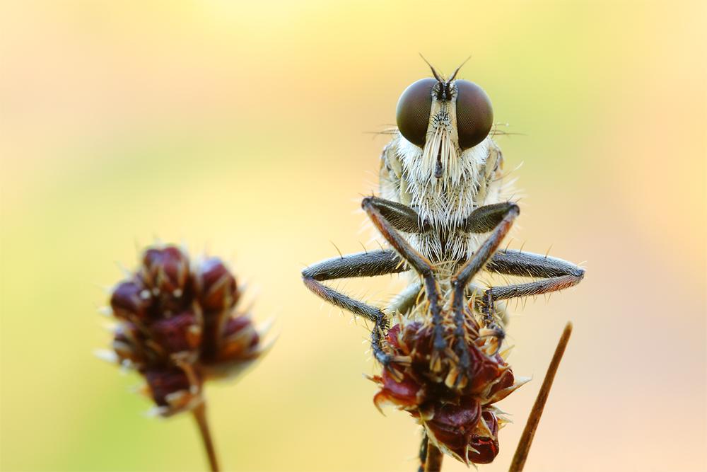 Seiden-Raubfliege ( Machimus arthriticus) - Männlich