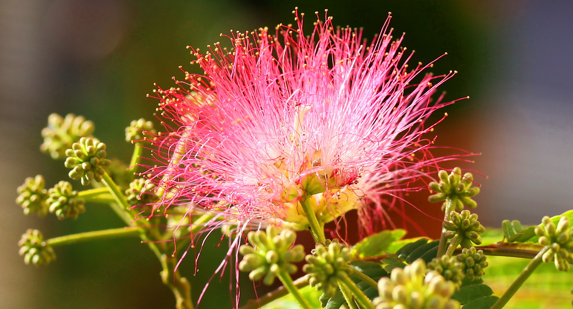 Seidenbaum-Blüte