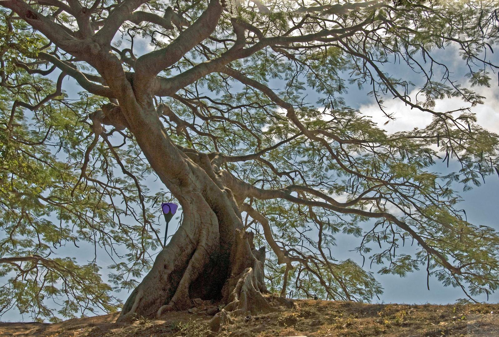 Seidenbaum im Park, Bengaluru, Indien