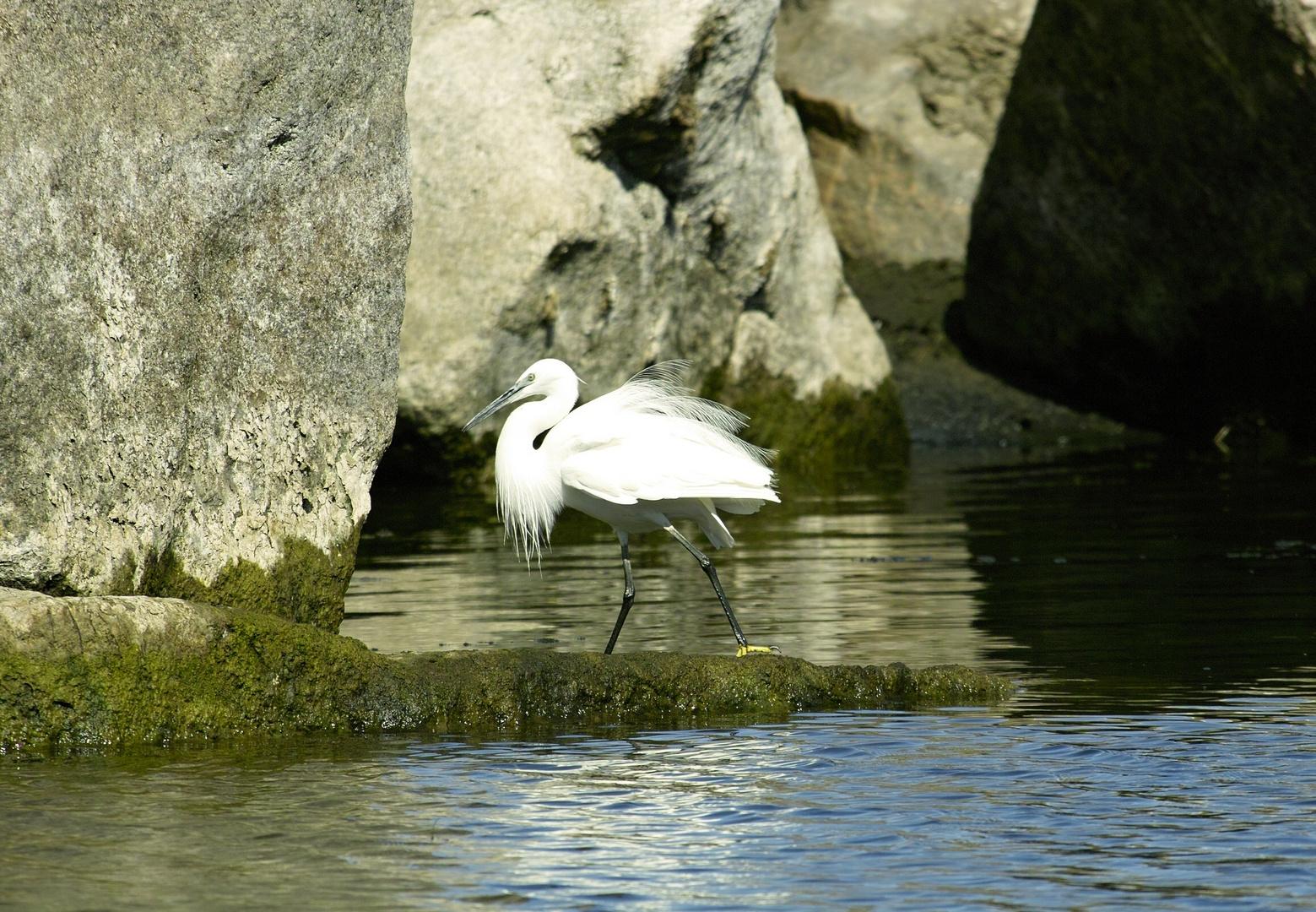 Seidenreiher auf der Jagd - Nil bei Assuan