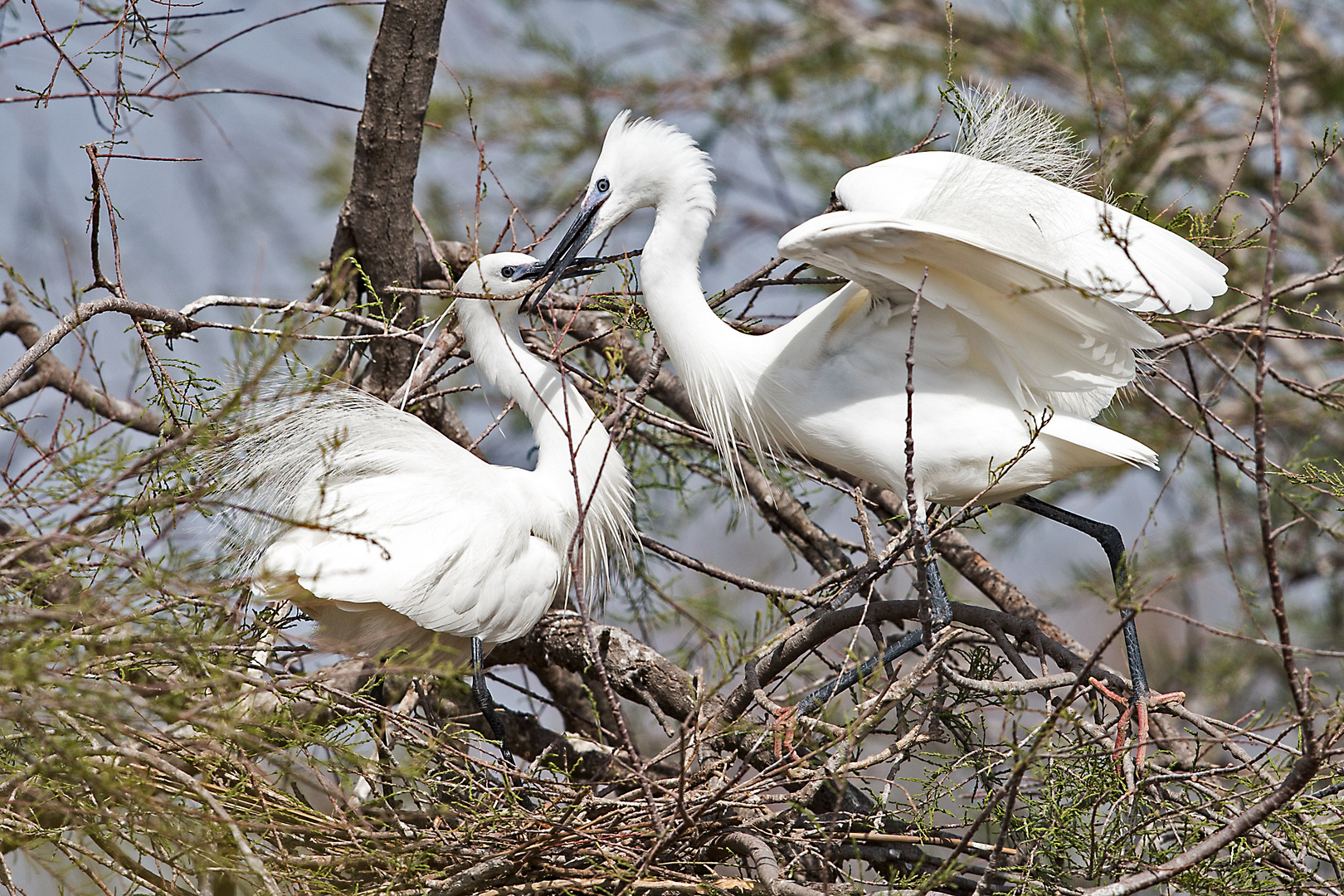 Seidenreiher beim Nestbau