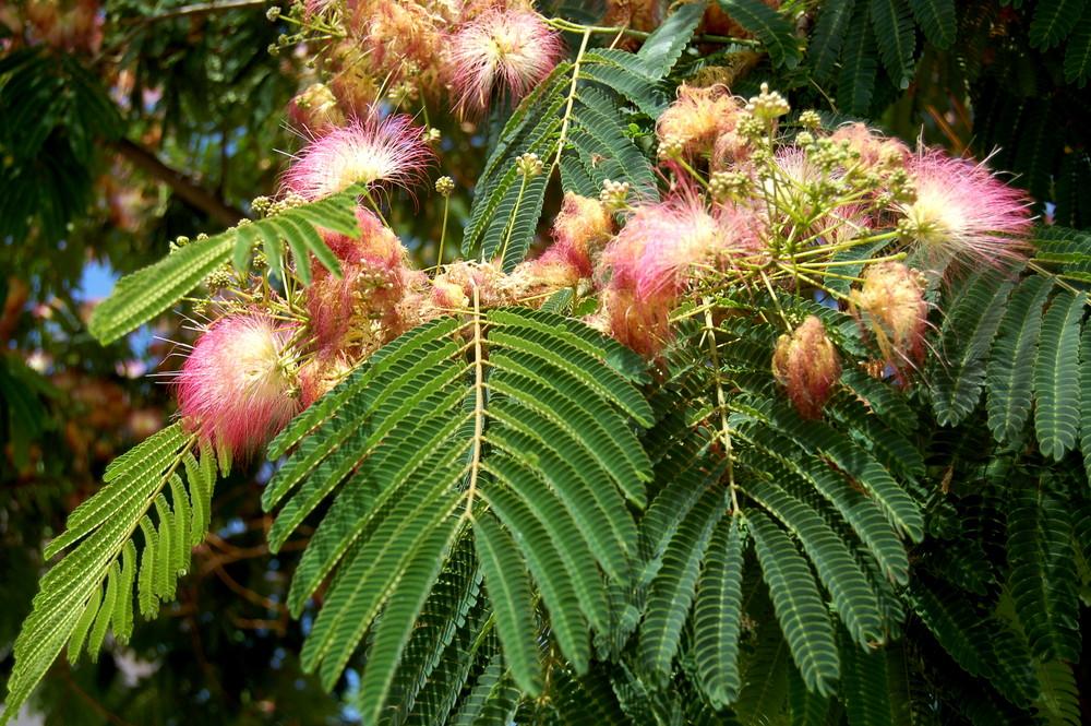 Seidenrosenbaum