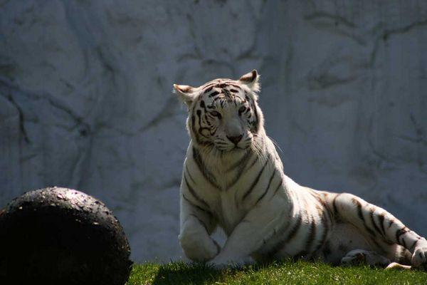 seine Majestät der weiße Tiger