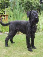 Seit August 2001 unser neues Familienmitglied: Riesenschnauzer Jango