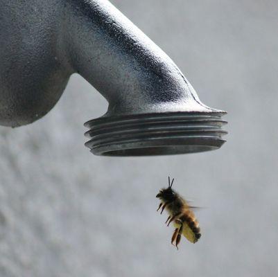 Seit wann wollen Bienen duschen?