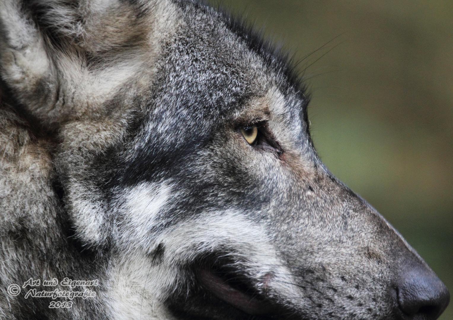 Seitenprofil des europäischen Grauwolfs