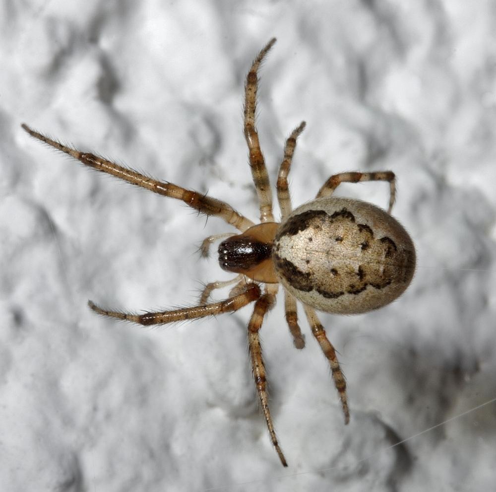 Sektorspinne (Zygiella x-notata) Weibchen(2)
