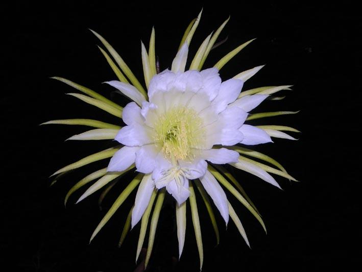Selenicereus grandiflorus - Schönheit für eine Nacht