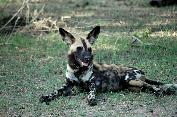Selous, Wildhund