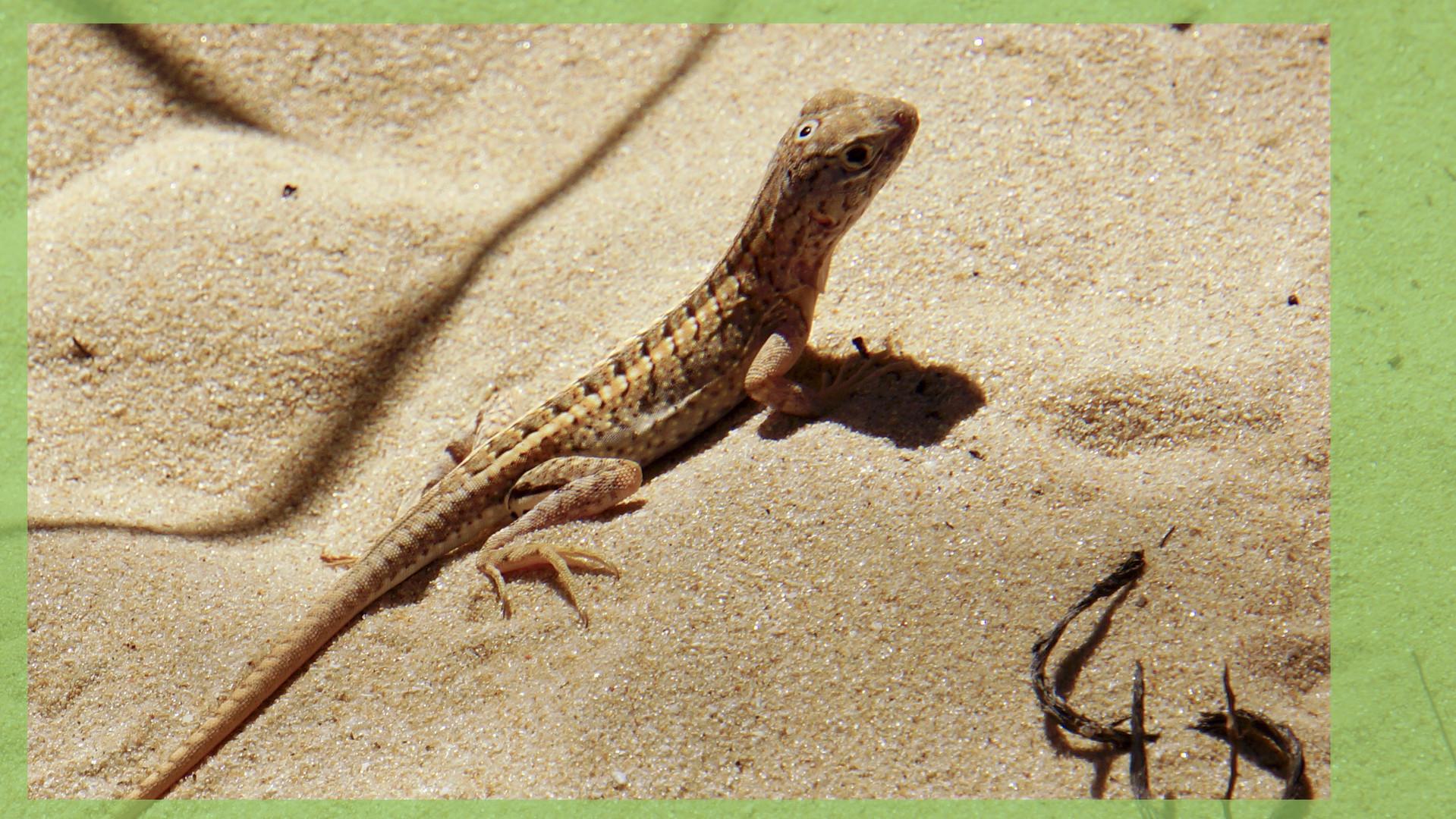 Selten: Der dreiäugige Gecko