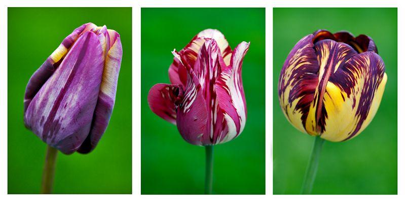 seltene alte Tulpensorten
