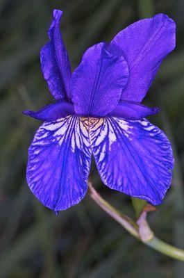 Seltene Lilienart im Ruggeller Riet (Sibirische Schwertlilie)