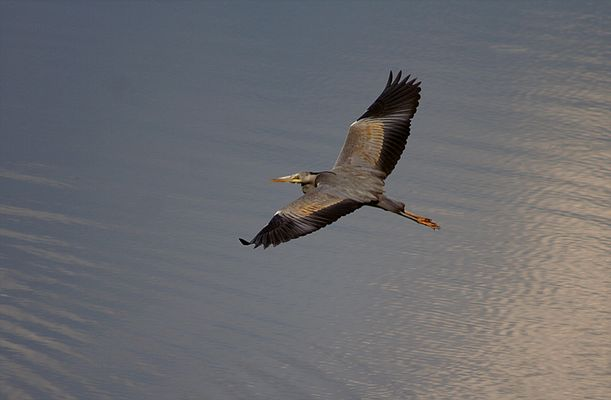 Seltene Perspektive: Fliegender Reiher von oben