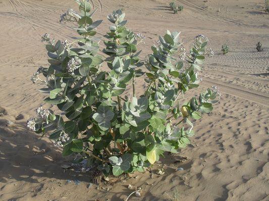 Seltene Pflanze in der Wüste