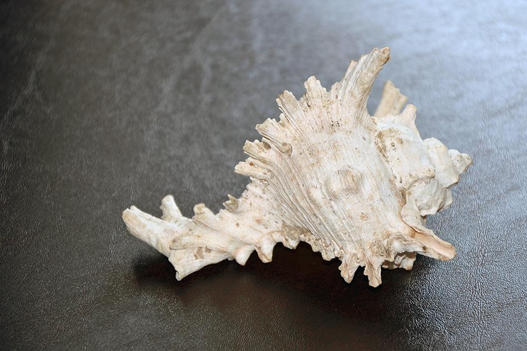 Seltene und schöne Muscheln aus Kenia - 1