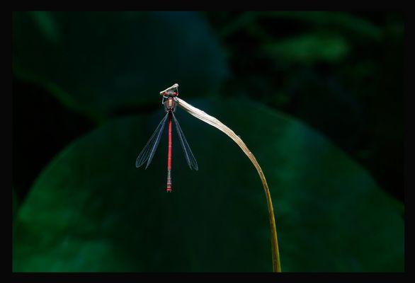 Seltsame Blume (Frühe Adonislibelle / Pyrrhosoma nymphula)