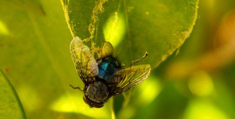 Semplicemente mosca