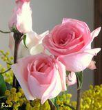 Semplici rose.