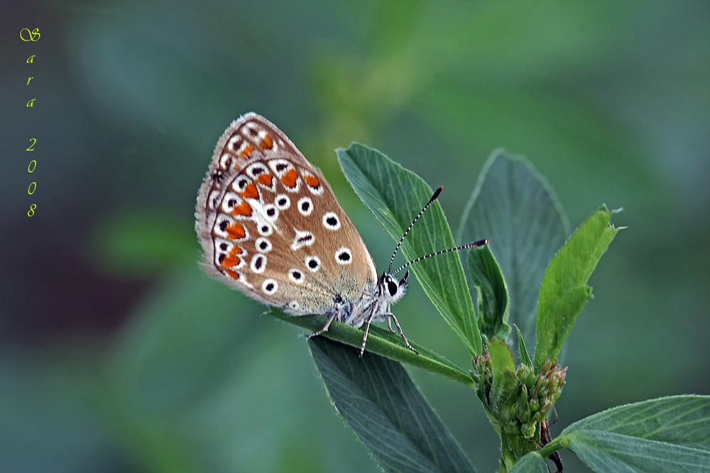Sempre lei... la farfalla con i colori del cielo...