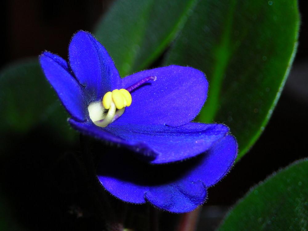Sempre violetta africana foto immagini macro e close for Violetta africana
