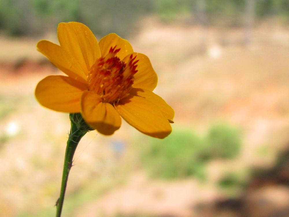 Sencilla flor del campo
