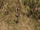 Senegaltrappe - Eupodotis senegalensis