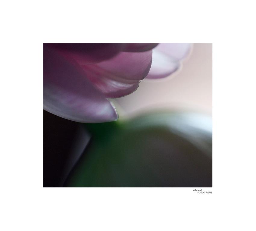 .sensual.tulip.