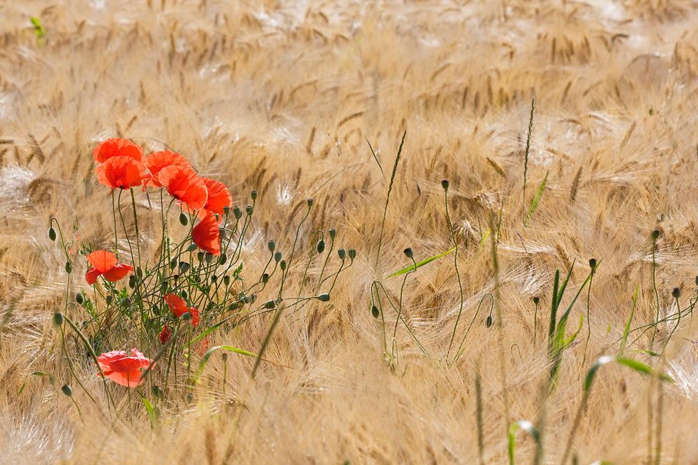 Sentinelles des blés