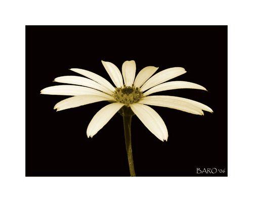 Sepia Blüte