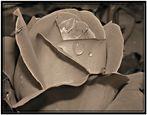 Sepia-Rose