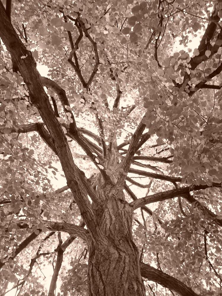 sepiabaum
