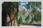 sequoia