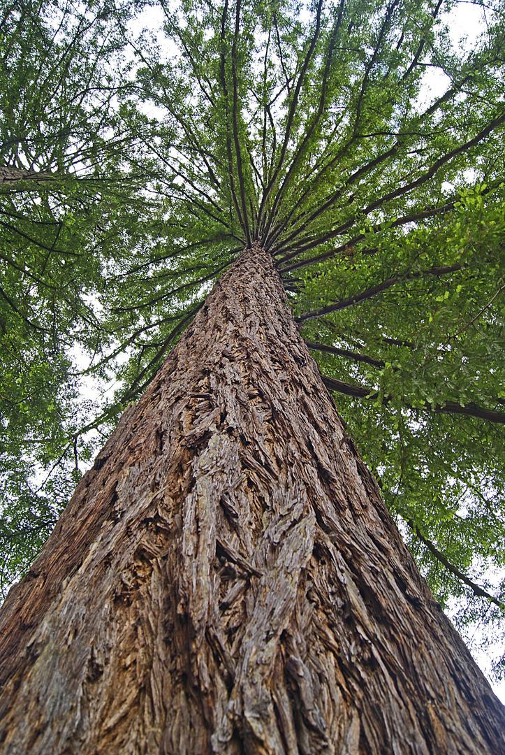 sequoia toujours vert ou sempervirens, arboretum des barres