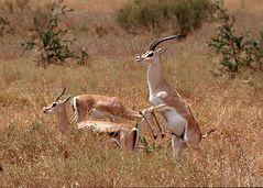 Serengeti darf nicht sterben ..