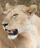 Serengeti-Löwin