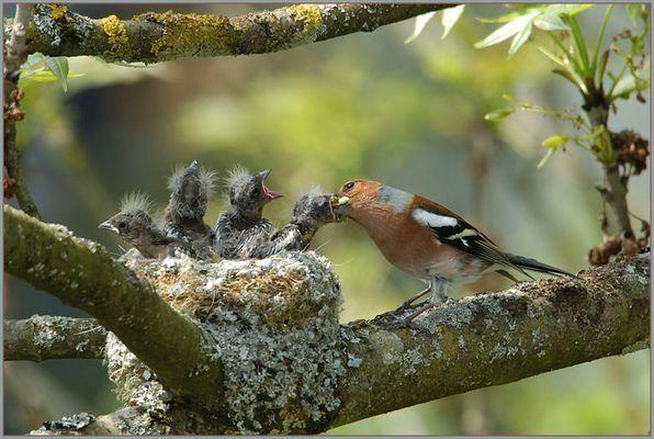 Serie - Fütterung der kleinen..... Buchfinken. (1/3)