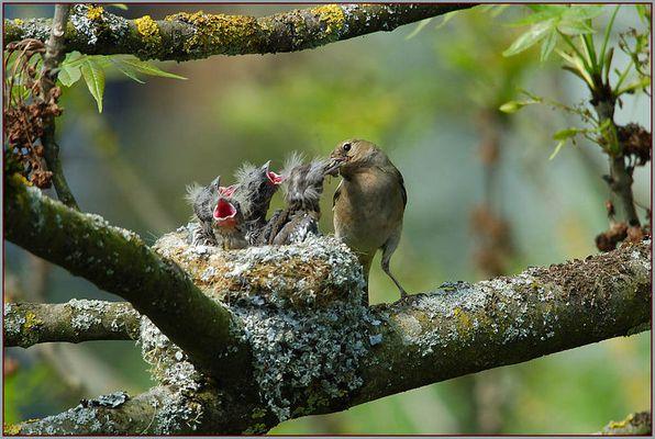Serie - Fütterung der kleinen..... Buchfinken. (2/3)