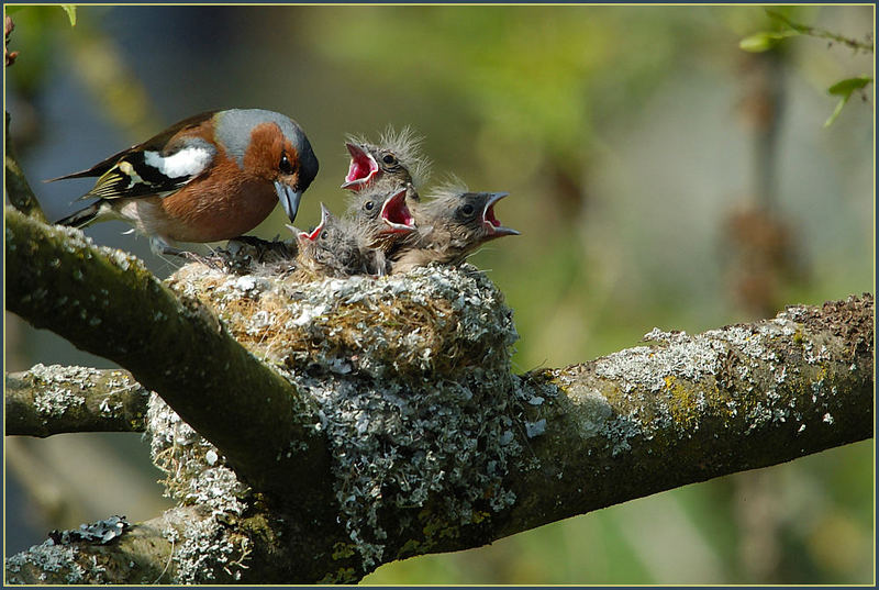 Serie - Fütterung der kleinen ..... Buchfinken 3/3