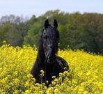 Series:- Friesian Horses 004