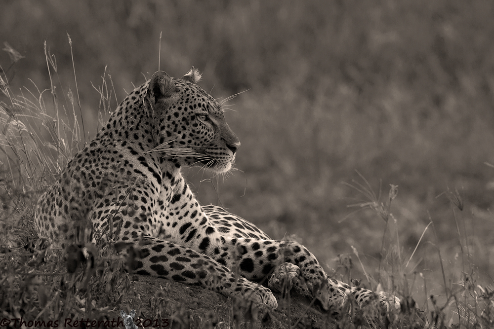 Seronera Leopard