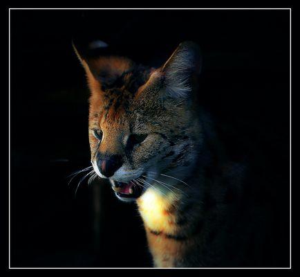 ***** Serval *****