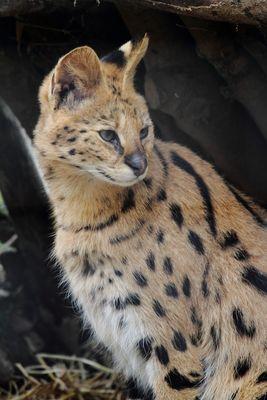 serval .