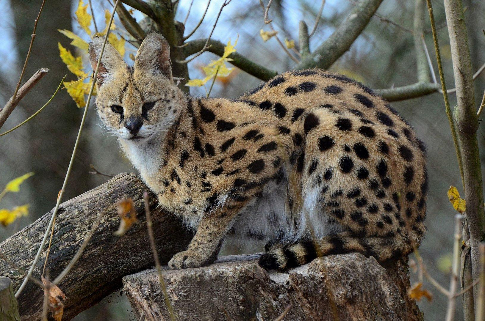 Serval auf der Lauer