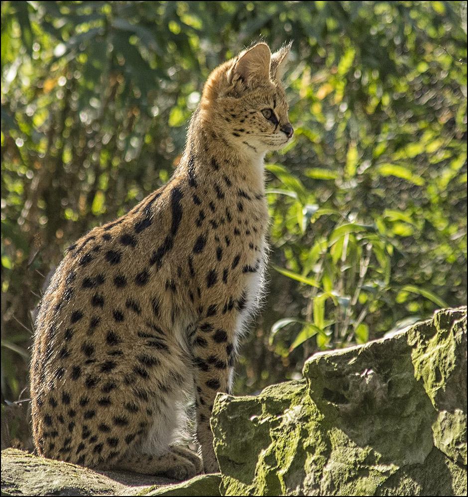 Serval..