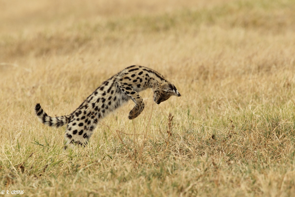Serval beim Mäusefang