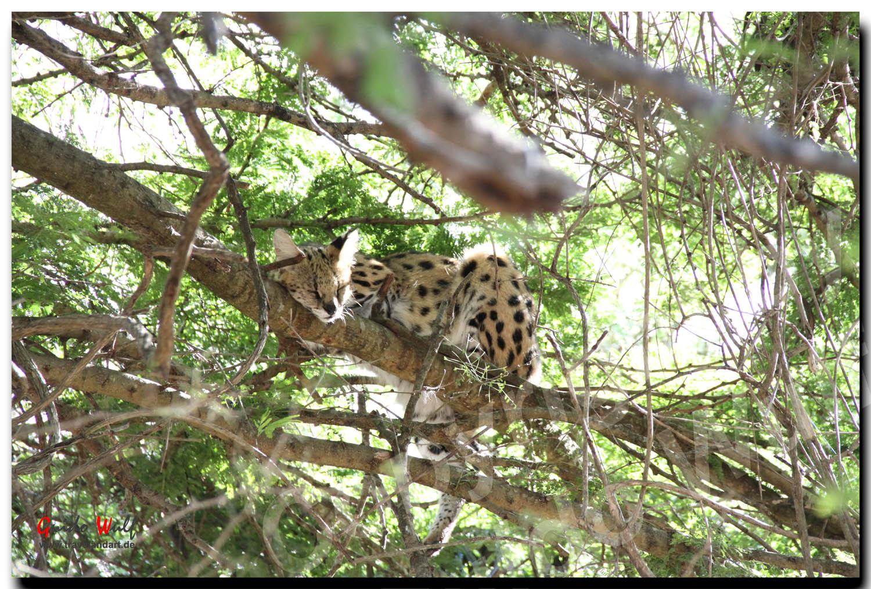 Serval beim Mittagsschläfchen