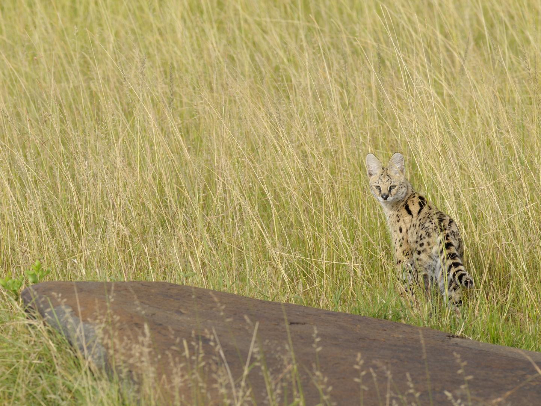 Serval - gerade noch erwischt am frühen Morgen...