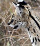Serval im hohen Gras