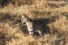 Serval im Moremi-NP Botswana